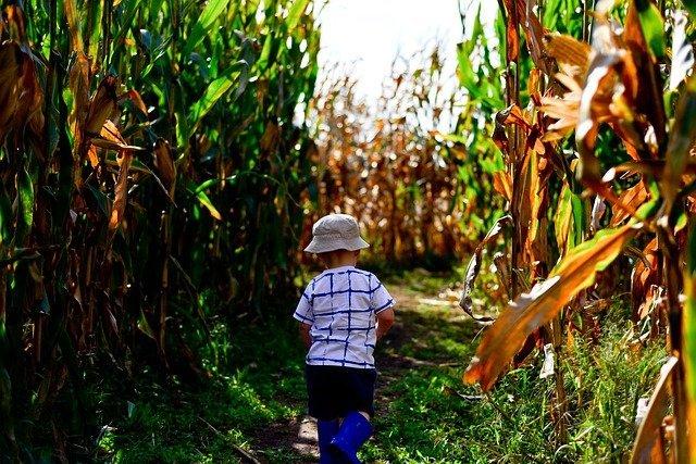Little boy with had on walking in a corn maze